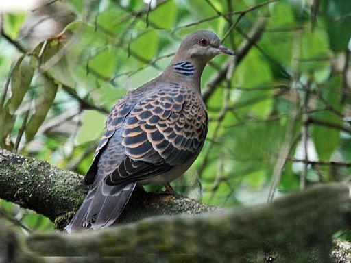 Oriental Turtle Dove RWD
