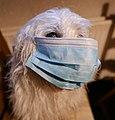 Original Westiepoo Hybridhund mit CORONA Schutzmaske.jpg