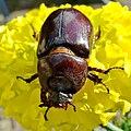 Oryctes nasicornis (European rhinoceros beetle)(Sarvikuonokas).7.jpg