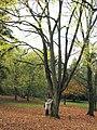 Ostrya carpinifolia JPG1a.jpg