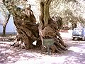 Oude olijvenbomen.jpg
