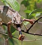 Oustalet's chameleon (Furcifer oustaleti) male feeding Anja Community Reserve 3e.jpg