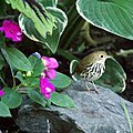 Ovenbird in the garden (4965712906).jpg