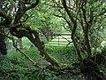 Overgrown lane, Errigle - geograph.org.uk - 1298124.jpg