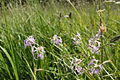 PP Boršov u Litětin (06) Dianthus superbus.JPG