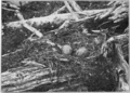 PSM V77 D092 Gull nest with eggs nearly ready to hatch.png