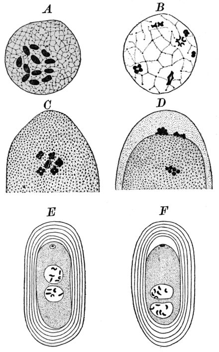 PSM V85 D130 Oogenesis of a nematode worm ancyracanthus.png