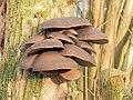 Paddenstoelen op een vlier (Sambucus nigra) 01.JPG