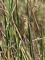 Paddyfield Warbler Acrocephalus agricola IMG 6498 (9).JPG