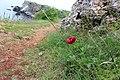 Paeonia peregrina, Bulgaria.jpg