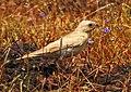 Pale rockfinch (ഇളം പാറക്കുരുവി ) - 8.jpg