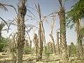 Palm trees in Pakistan (Turbat).jpg