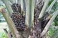 Palmiers à huile à Ribeira Peixe (São Tomé) (6).jpg
