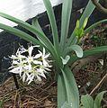 Pancratium illyricum - Flickr - peganum (2).jpg