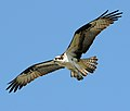 Pandion haliaetus -Sandy Hook, New Jersey, USA -flying-8.jpg