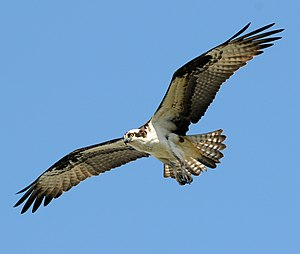 An Osprey flying in Sandy Hook, New Jersey, USA.