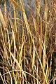 Panicum virgatum Prairie Sky 6zz.jpg