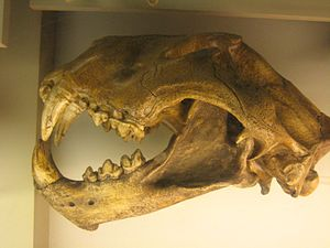 American lion - Skull at the National Museum of Natural History