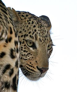 Panthera pardus -Vumbura Plains, Botswana -adult-8.jpg