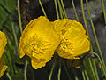 Papaveraceae - Papaver croceum-001.jpg