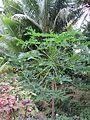 Papaya (7374290282).jpg