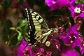 Papilio machaon (KPFC) (11).jpg