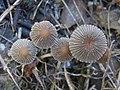 Parasola auricoma (Pat.) Redhead, Vilgalys & Hopple 273885.jpg