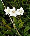 Parnassia palustris L. (8070288598).jpg