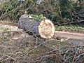 Part of the felled poplars, in The Causeway, Peasenhall - geograph.org.uk - 1213392.jpg