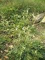Parthenium Plant.jpg