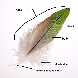 parts of a contour feather
