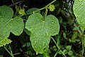 Passiflora foetida 6604.jpg