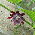Passiflora sp.-IMG 6896.jpg