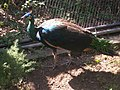 Peacock at London Zoo in the Snowdon Aviary - geograph.org.uk - 971714.jpg