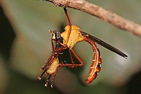 Pegesimallus sp robberfly.jpg