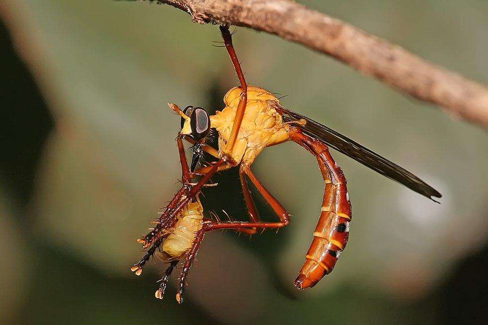 Pegesimallus sp robberfly