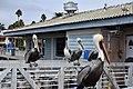 Pelicans (15280050124).jpg