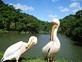 Pelicans of Green World Ecological Farm.jpg
