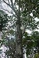 Peltophorum pterocarpum-Ho Chi Minh City (3).jpg