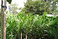 Pembibitan kelapa sawit (24).JPG
