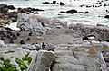 Penguin colony in Hermanus 14.jpg