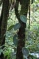 Peperomia choroniana (Piperaceae) (30224727425).jpg