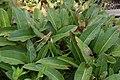 Persicaria bistorta in Jardin botanique de la Charme.jpg