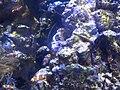 Pesci pagliaccio ocellati del Gardaland Sea Life.jpg