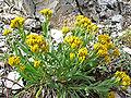 Petradoria pumila ssp pumila 2.jpg