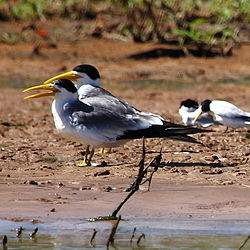 Phaetusa simplex - Large-billed Tern.jpg
