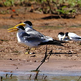 Phaetusa simplex - Large-billed Tern.jpg