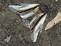 Pheosia tremula - Swallow prominent - Хохлатка осиновая (40243723895).jpg