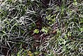 Philodendron radiatum 0zz.jpg
