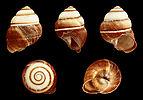 Phoenicobius aratus 01.JPG